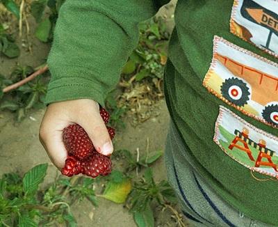 Raspberries at Rutiz Farm