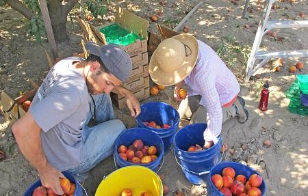 Peach Picking Masumoto Farm