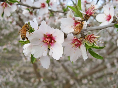 Almond blossoms Fat Uncle Farms