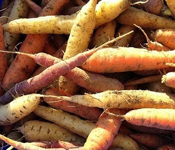 Carrots Siean Farms