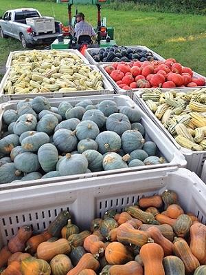 Siena Farms harvest