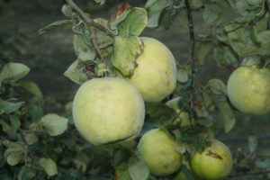 quince-on-branch